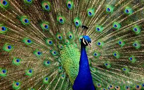 bello, uccello, pavone