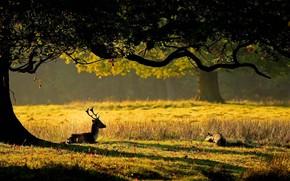 природа,  олень,  олени,  рога,  дерево,  листья,  трава,  солнце,  детеныш