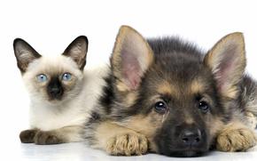 котёнок,  кот,  сиамский,  щенок,  овчарка,  дружба