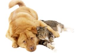пёс,  собака,  рыжий,  кот,  кошка,  друзья
