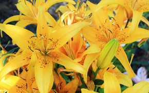 Lily, yellow, Flowers