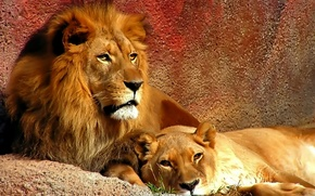 leone, leonessa, coppia, orgoglio