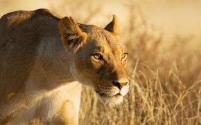 leonessa, vista, grugno, caccia, si intrufola