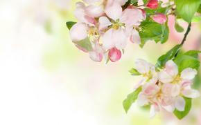 mela, fiori, ramo, primavera, tenerezza