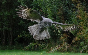 猫头鹰, 无声飞行, 像老鼠