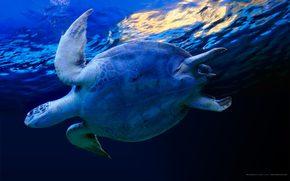 tartaruga, acqua, blu