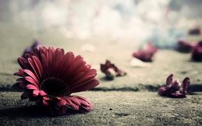 land, asphalt, macro, photo, petals, flower, gerbera
