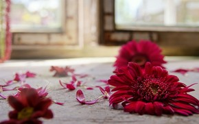 red, flower, gerbera, on the floor