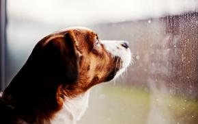 cane, guarda, finestra, pioggia, vetro, gocce