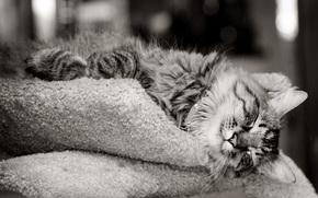 gato, lana, color, hocico, ojos, bigote, nariz, pies, Papel pintado