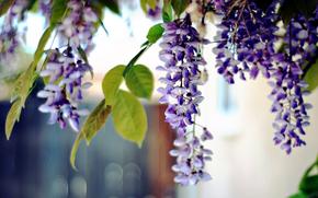 фото,  макро,  природа,  растения,  цветы,  листья,  акация,  боке,  фон,  обои