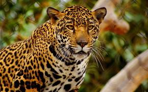 豹, 斑, 捕食