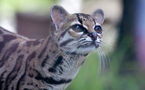 wildcat, ocelot, muzzle, view