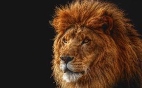 lion, king, muzzle