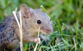 Ordinario, grigio, mouse