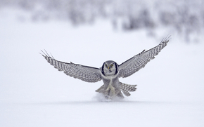 животное,  птица,  сокол,  полёт,  зима,  снег