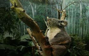 coala, pies, garras, rbol, tronco, bosque