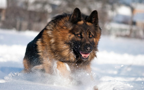 dog, German shepherd, Winter, snow