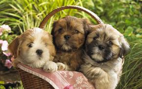 собаки,  щенки,  корзина