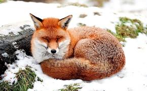 volpe, riposo, nella neve