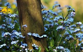 dimenticare-me-, fiori, impianto, erba, albero, estate, natura