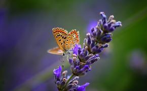 бабочка,  насекомое,  цветок,  растение,  лаванда,  природа,  макро