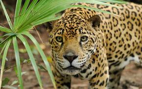jaguar, panther, predator, wildcat, snout, list, hunting