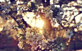 Flowers, cherry, sunset, tree, branch, sun