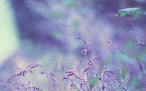 цветок,  лаванда,  боке