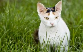 Don Sphynx, cat, cat, snout, grass, Russian naked cat, wallpaper