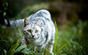 猫, 自然, 草, スナウト, 視線, 背景, 壁紙