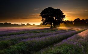 природа,  пейзаж,  поле,  лаванда,  деревья,  рассвет