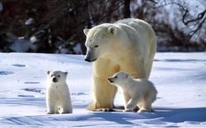 полярный,  медведь,  медвежата,  семья,  зима,  солнечно,  снег,  сверкает,  три,  медведя