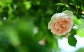 роза, бутон, лепестки
