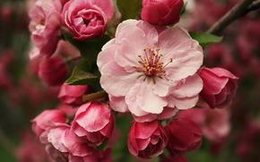 branche, fleurir, Macro, Bourgeons