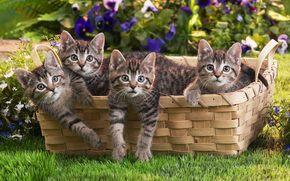 котята, корзина, трава