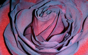 rose, pretty petals, unusual color
