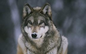 lupo, Bestia, predatore, ordinato, silvicoltura, neve, su, naso, carta da parati