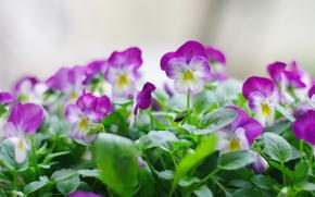三色堇, 花卉, 青菜, 厂, 性质, 春天, 新鲜, 花束, 宏