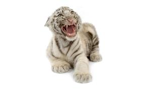 虎, 虎の子, 白いベンガルトラ