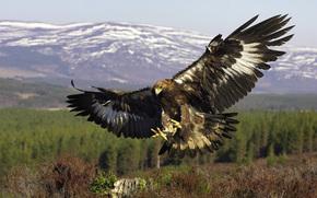 Golden Eagle, bird, predator, flight, wings
