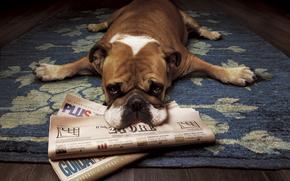 buldog, jest, gazeta