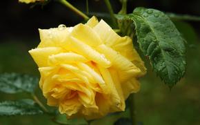 Roses, Giallo, rugiada, gocce, fogliame, fiore