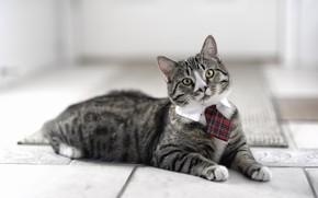 kot, Kote, zawiza, widok