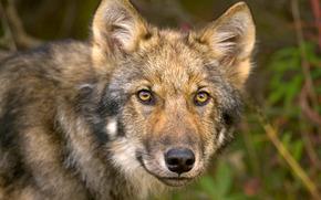 wolf, muzzle, eyes