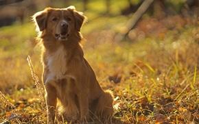 природа, пёс, травка, боке, солнце