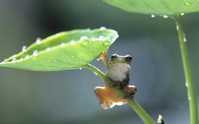 Лягушка, зонтик, лист