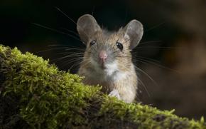 grigio, mouse, baffi