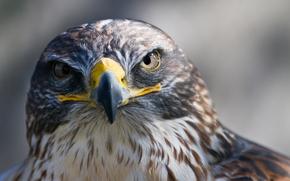 Vogel, sieht, Falke, Schnabel, Raubtier