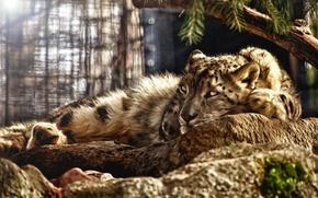 леопард, взгляд, камни